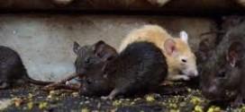شركة مكافحة فئران وقوارض بالباحه