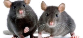 شركة مكافحة فئران وقوارض بخميس مشيط