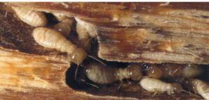 ِشركة مكافحة النمل الابيض بسيهات و عنك